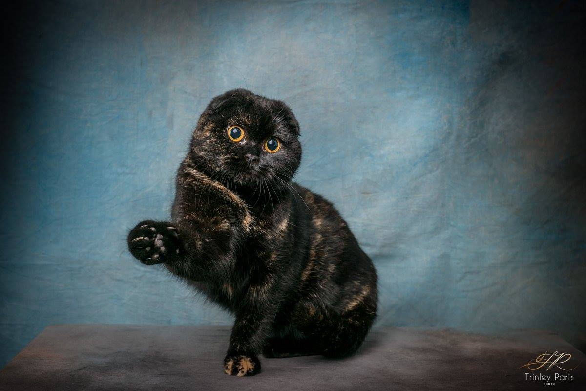 Meilleur SCOTTISH FOLD CGA 2018