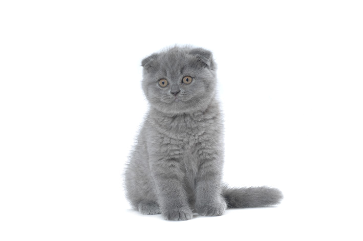Chaton scottish fold bleu