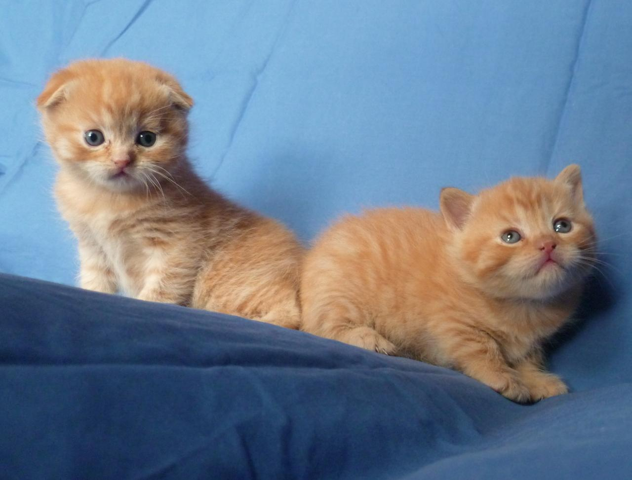 CHATONS SCOTTISH FOLD ET STRAIGHT ROUX