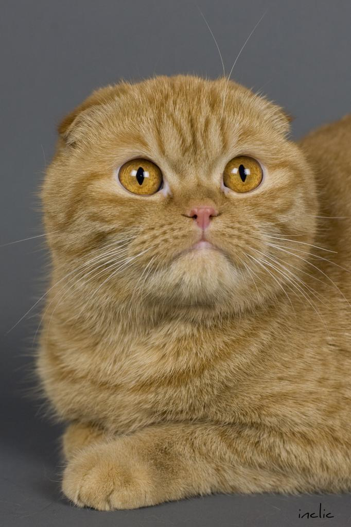 SCOTTISH FOLD ROUX