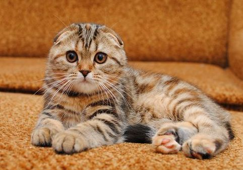 CHATON SCOTTISH FOLD BLACK TORTIE TABBY