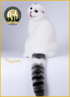 Shorthair - Best of Breed: GC, BW, NW SUN BLOSSOM BLUE ICE OF LANCE JAY Blue Tabby & White Male